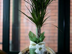 sobna biljka dracena