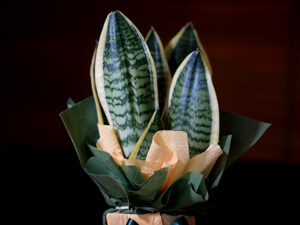 sobno cveće sanseverija