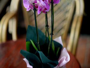orhideja sa dve grane